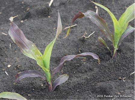 colorazione violacea del mais in fase V3