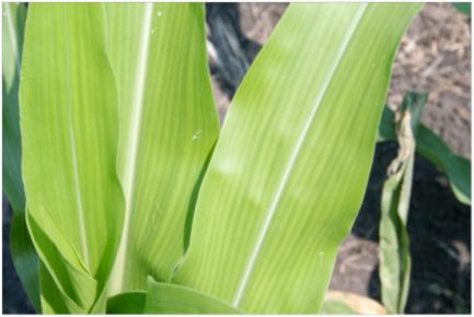 Sintomi di carenza da manganese nel mais
